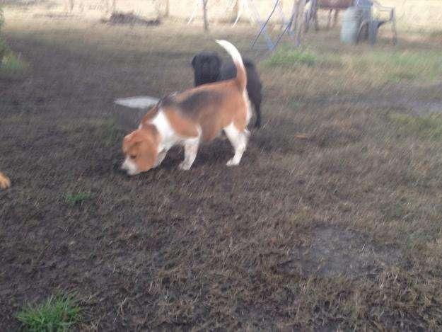 Beagle de 2 años