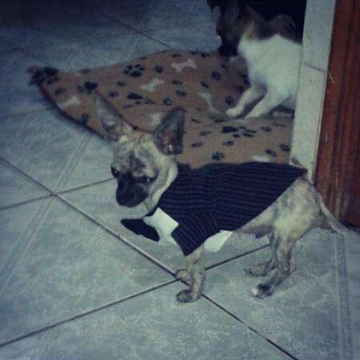 Hermoso cachorro chihuahua miniatura