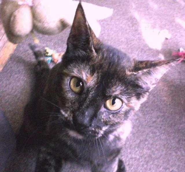 Tae hermosa tortie de casi 2 años busca familia cat lover