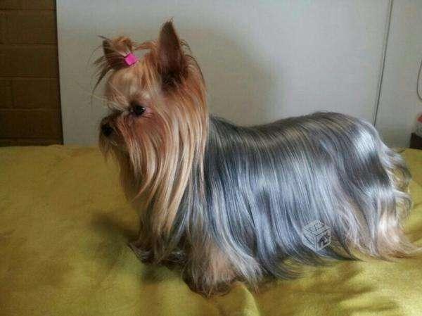 Venta de yorkshire toy y mini toy - Santiago, Chile - Animales ...