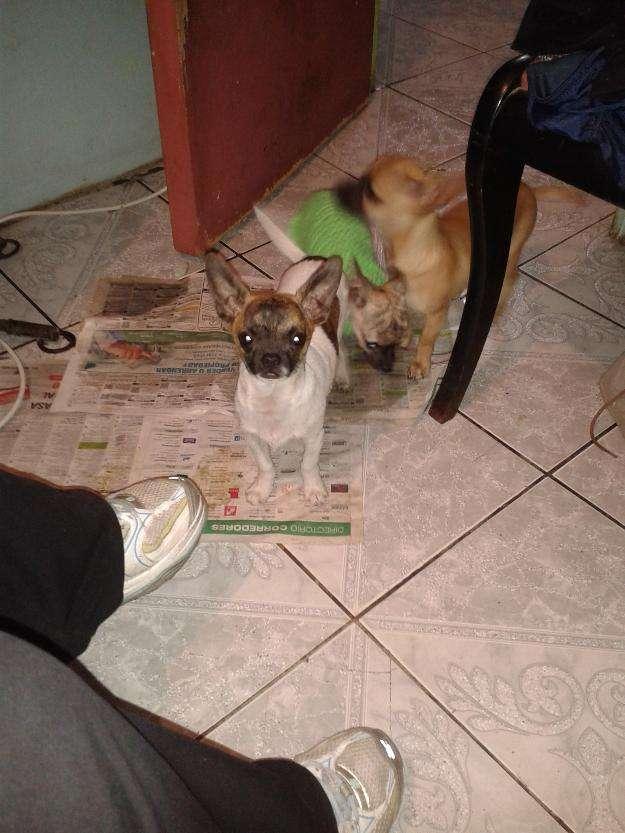 Cachorro chihuahua hermoso