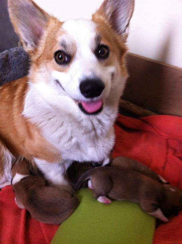 Cachorro welsh corgi penbroke a la venta en santiago de chile agosto 2014