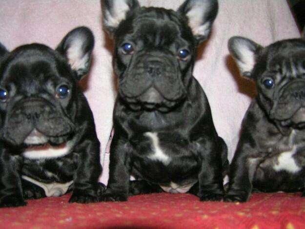 Hermosisimos cachorros bulldog francés
