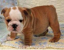 Machitos bulldog ingles