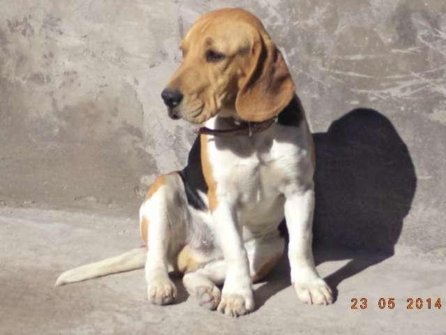 Busco novia beagle!!