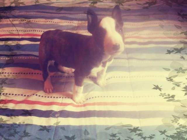 Cachorrita bull terrier disponible padres inscritos