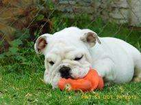 Fotos de Excelente bulldog inglés para montas fullpedigree 5