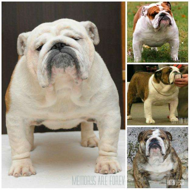 Fotos de Excelente bulldog inglés para montas fullpedigree 4
