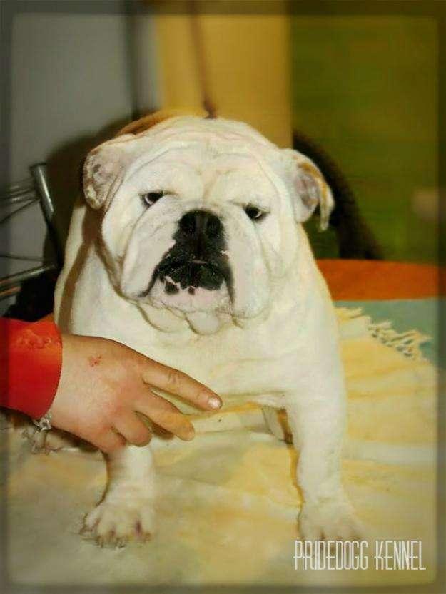 Fotos de Excelente bulldog inglés para montas fullpedigree 1