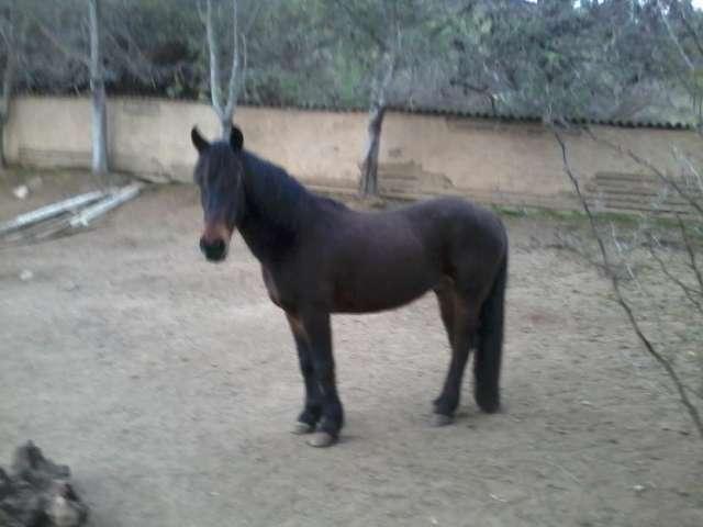 Vendo caballo con papeles catapilco cerca la ligua