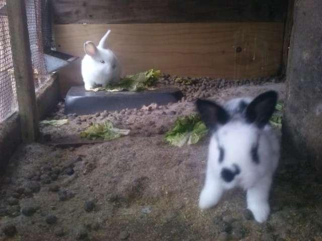 Fotos de Vendo hermosos conejos gazapos 2