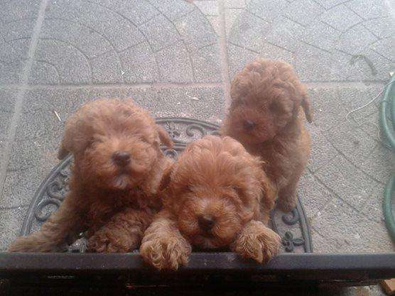 Poodle toy cachorros