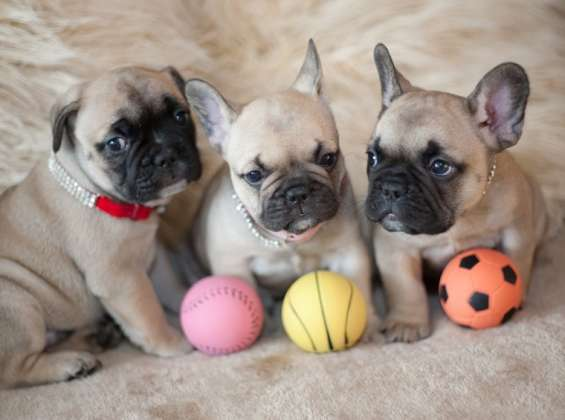 Bulldog frances para venta